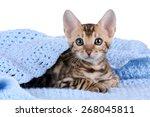 Stock photo cute bengal kitten under a blue blanket 268045811