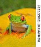 Small photo of agalychnis callidryas monkey frog