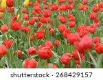 tulips flower beautiful in... | Shutterstock . vector #268429157