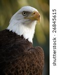 Bald Eagle Against A Blurred...