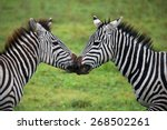 Two Zebras Playing With Each...