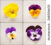Pansy Spring Flowers. Viola...