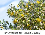 Blooming Creosote Bush  Larrea...