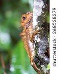 Small photo of Borneo Anglehead Agamid Lizard (Gonocephalus belli), Borneo, Malaysia