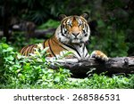 Bengal Tiger In Forest Show...
