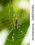 Small photo of The Northern Golden Orb Weaver or Giant Golden Orb Weaver (Nephila pilipes) creating it's web, ventral side. Bali, Indonesia.