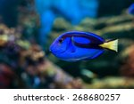 Royal Blue Regal Tang Fish...