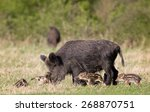 Wild Boar Family  Mother With...