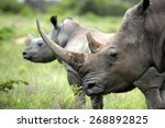 a close up of a female rhino  ... | Shutterstock . vector #268892825