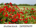 Field Of Red Poppy And...