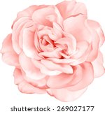 Stock vector beautiful light red rose flower isolated on white background vector illustration 269027177