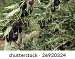 Black Olive trees with ripening fruit in California - stock photo