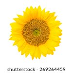 Stock photo sunflowers 269264459