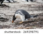little beautiful gentoo penguin ... | Shutterstock . vector #269298791