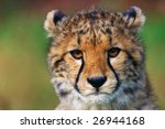 Portrait Of A Cheetah Cub...