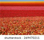 Field Of Ranunculus Flowers At...