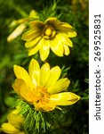 Small photo of Beautiful spring yellow flowers Pheasant's eye (Adonis vernalis)