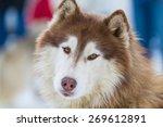 Portrait Young Alaskan Malamut...