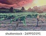 Ripe Black Grapes In The Autumn ...