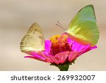 Stock photo butterfly on flower catopsilia pomona the lemon emigrant outdoor in nature the butterfly was 269932007