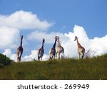 Giraffe At Oribi Gorge  South...