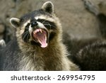 Face Of Cute Raccoon Open Mout...