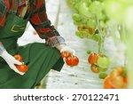 tomatoes harvest | Shutterstock . vector #270122471