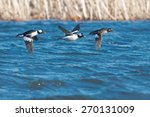 Three Bufflehead Flying Across...