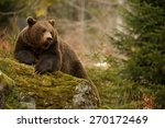 A brown bear in the forest. big ...