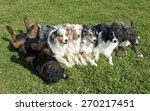 Group Of Dogs Lying Down In Th...