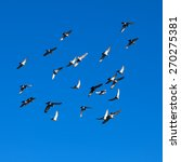 tamed pigeons flying free in... | Shutterstock . vector #270275381