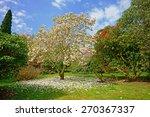 A Beautiful Magnolia Tree ...
