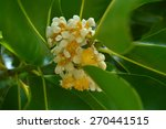 Small photo of Alexandrian laurel flower, Calophyllum inophyllum, Family Calophyllaceae, Central of Thailand