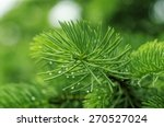 Fir Branch With Drops Of...