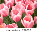This is a close-up of a group of pink tulips. - stock photo