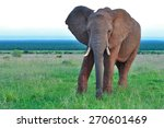 African Elephant Walking And...