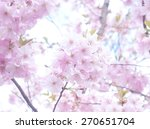 spring cherry blossoms  pink... | Shutterstock . vector #270651704