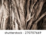 Close Up Of Banyan Tree Trunk...