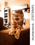 Stock photo scottish fold cat playing 270739691