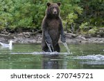 grizzly bear fishing in an... | Shutterstock . vector #270745721