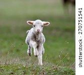 cute lambs on field in spring | Shutterstock . vector #270751541