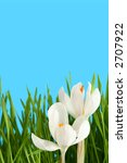 Beautiful white crocus on a blue background - stock photo