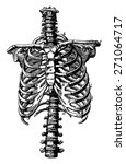 spine and rib cage rights ... | Shutterstock .eps vector #271064717