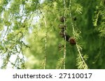 coniferous tree branch with