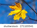 Single Autumn Yellow Maple...