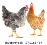 two hens isolated on white ... | Shutterstock . vector #271169489