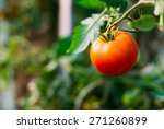Homegrown Red Fresh Tomato In ...