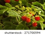 Wild Strawberry Plant With...