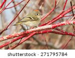 Ruby-crowned Kinglet perched on a branch.