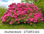 Bush Of Rhododendron Flowers